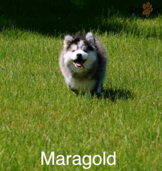 MARAGOLD *2 YEAR HEALTH GUARANTEE* – POMSKY PUPPY FOR SALE IN EATON, OH