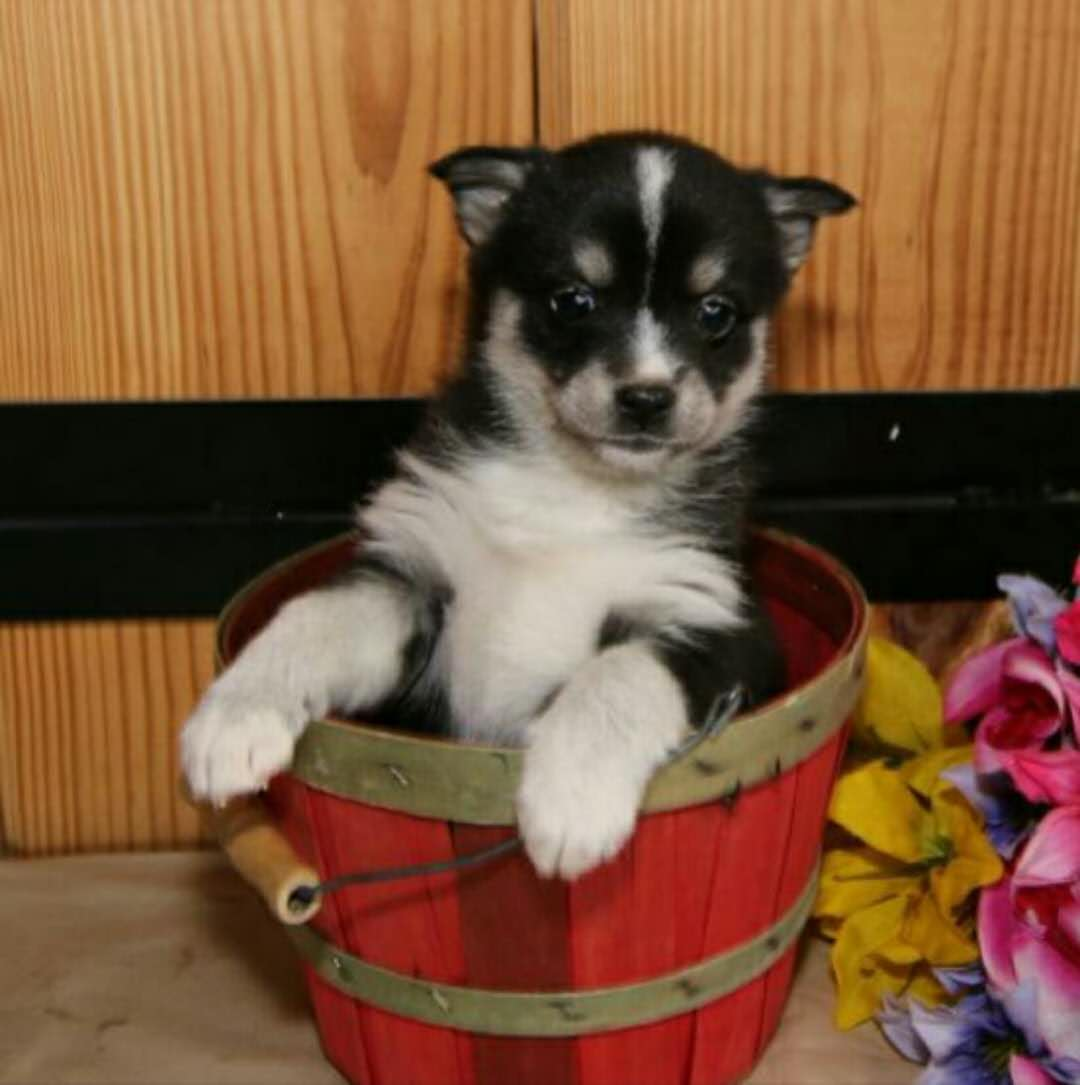 MARY – POMSKY PUPPY FOR SALE IN MILLERSBURG, IN