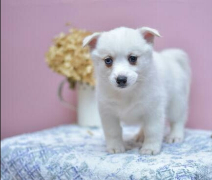 MEGAN – POMSKY PUPPY FOR SALE IN MILLERSBURG, OH