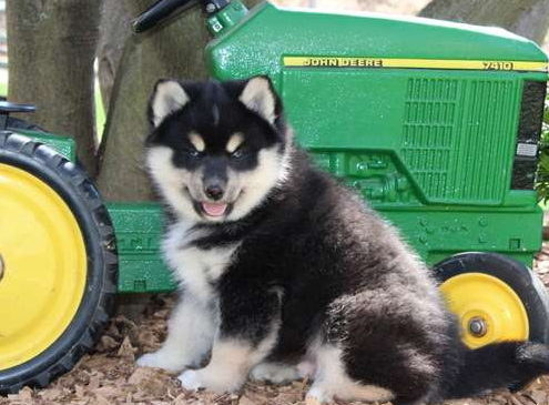 MAXWELL – POMSKY PUPPY FROM Manheim, PA