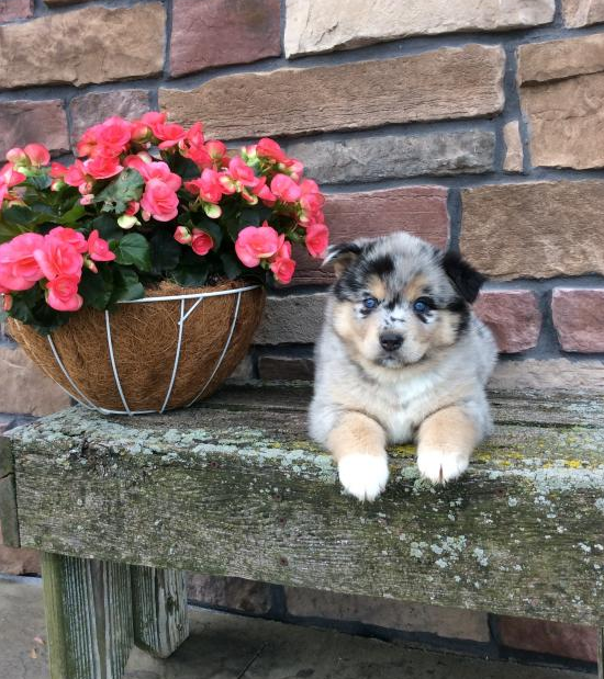 MILLIE – POMSKY PUPPY FOR SALE IN MILLERSBURG, OH