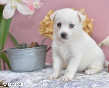MISSI – POMSKY PUPPY FOR SALE IN MILLERSBURG, OH