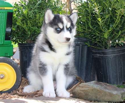 Melody – POMSKY PUPPY FROM Manheim, PA