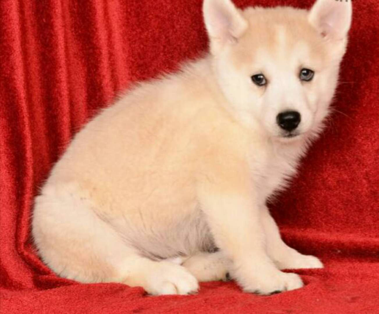 NEIL – POMSKY PUPPY FOR SALE IN MILLERSBURG, OH