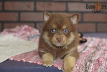 NAKITA – POMSKY PUPPY FOR SALE IN MIDDLEBURY, IN