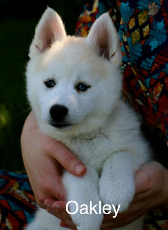 OAKLEY *2 YEAR HEALTH GUARANTEE* – POMSKY PUPPY FOR SALE IN EATON, OH