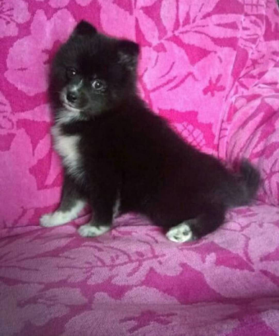 PEACHES – POMSKY PUPPY FOR SALE IN KIMBOLTON, OH