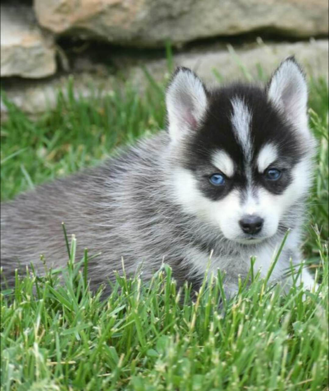 OLIVER – POMSKY PUPPY FOR SALE IN DANVILLE, OH