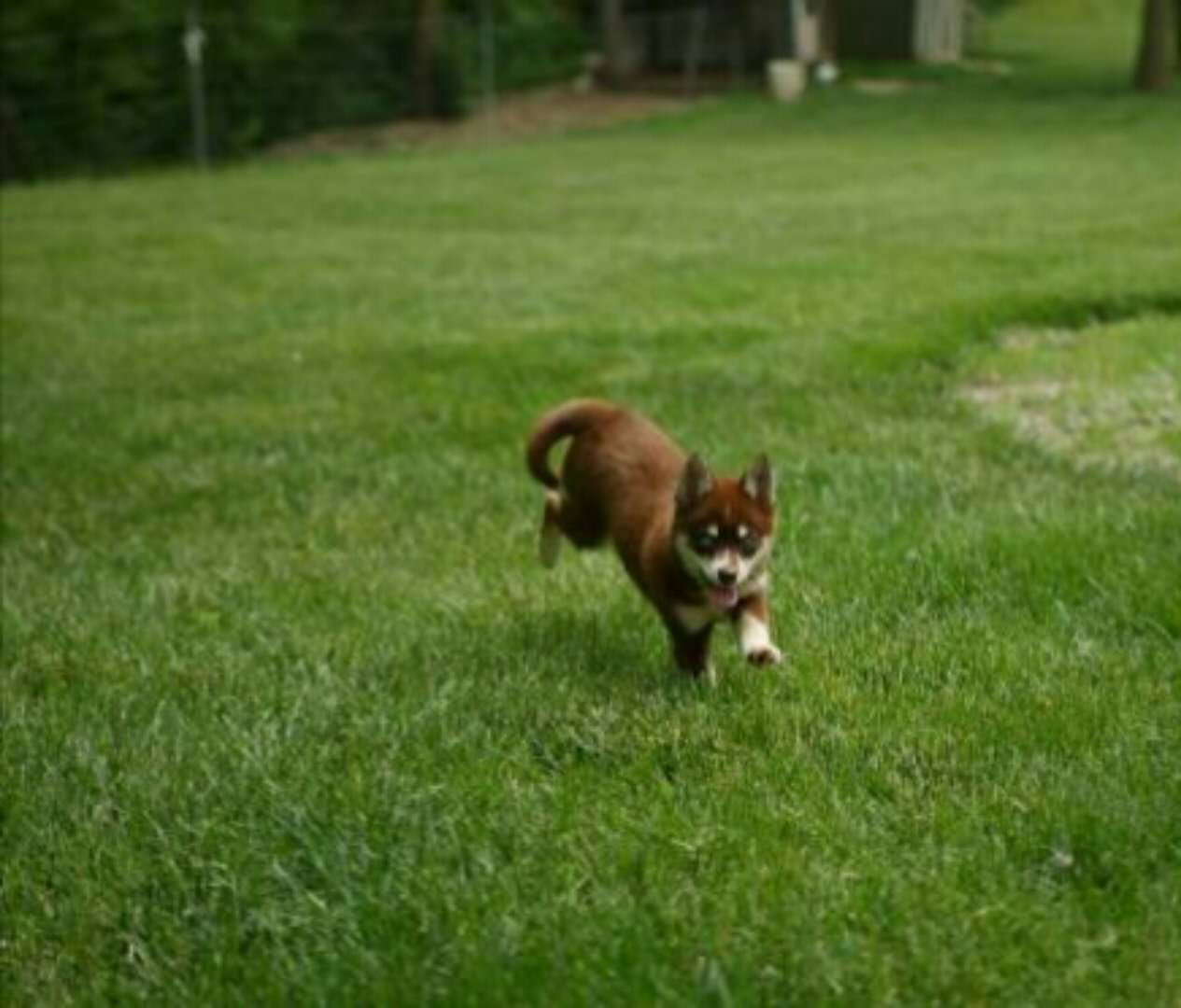 PRIMROSE – POMSKY PUPPY FOR SALE IN MILLERSBURG, OH