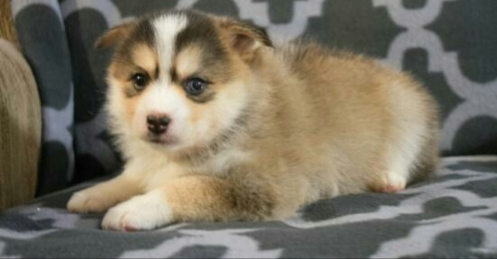 PRINCESS – POMSKY PUPPY FOR SALE IN AKRON, OH