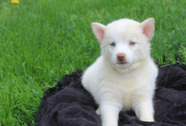 Patricia – POMSKY PUPPY FROM Gap, PA