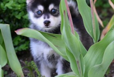 QUINN – POMSKY PUPPY FOR SALE IN DANVILLE, OH