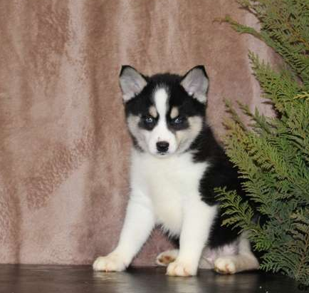 RILEY – POMSKY PUPPY FROM Manheim, PA