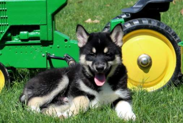 RIPLEY – POMSKY PUPPY FROM  Manheim, PA