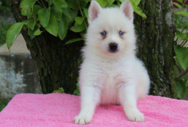 RACHEL – POMSKY PUPPY FROM GAP,PA
