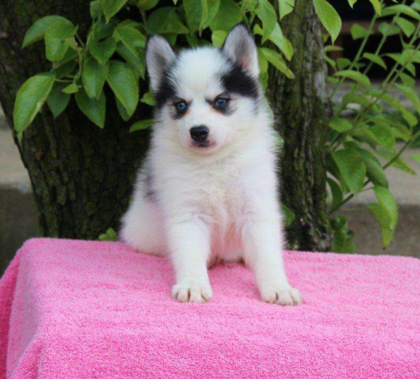 RAVEN – POMSKY PUPPY FROM Gap, PA