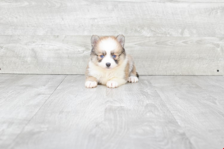SHELBY – POMSKY PUPPY (AVAILABLE 6/20/2018)