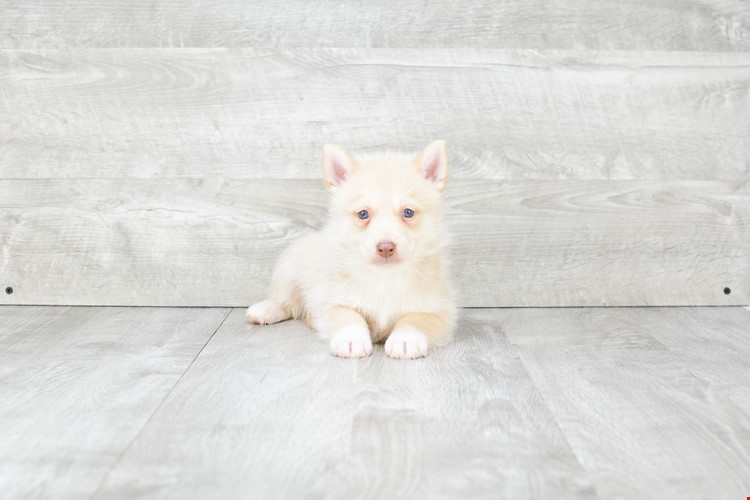 SHILOAH POMSKY PUPPY AVAILABLE 6/20/2018