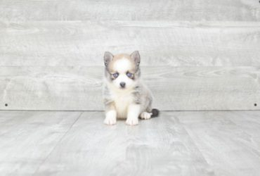 SKY POMSKY PUPPY (AVAILABLE 6/20/2018)