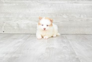 SLOANE – POMSKY PUPPY (AVAILABLE 6/20/2018)