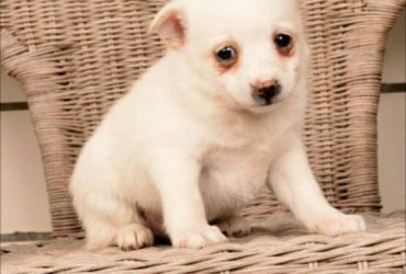 SNOOPY! – POMSKY PUPPY FOR SALE IN MILLERSBURG, OH