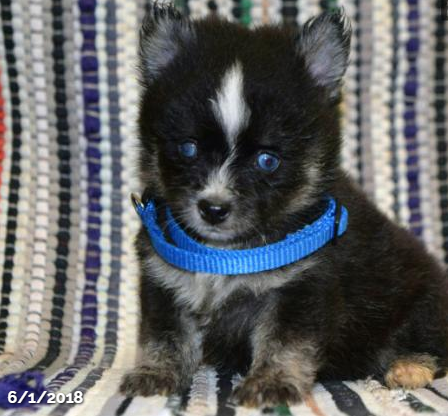 STORMI – POMSKY PUPPY FOR SALE IN MILLERSBURG, OH