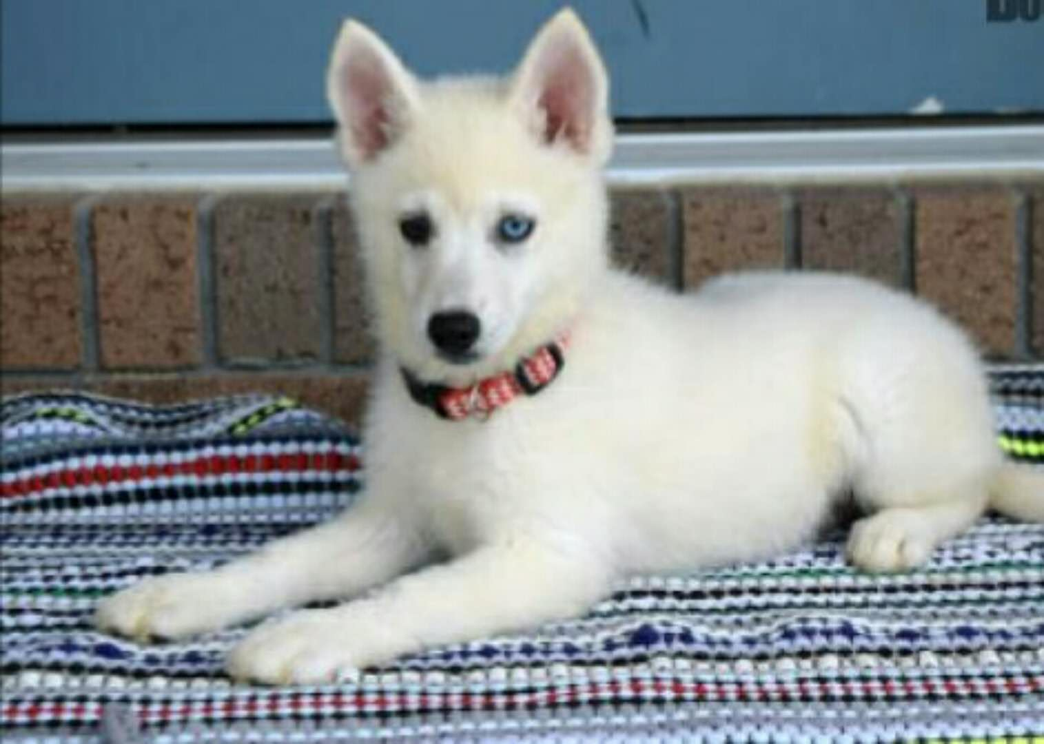 SKITTLES – POMSKY PUPPY FOR SALE IN MILLERSBURG, OH
