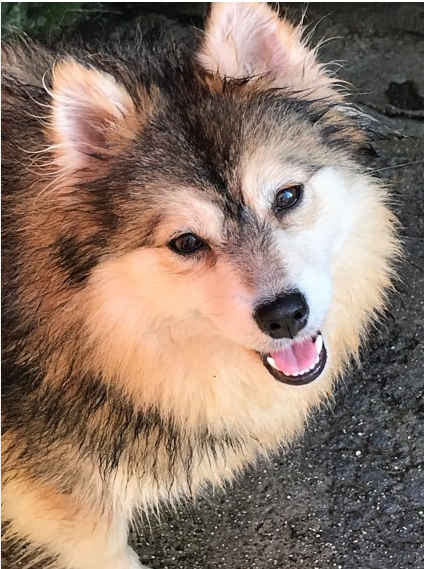 Stunning Small Female Pomsky For Sale from Plymouth, Devon