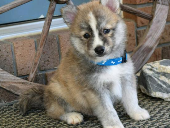 THOR – POMSKY PUPPY FOR SALE IN MILLERSBURG, OH
