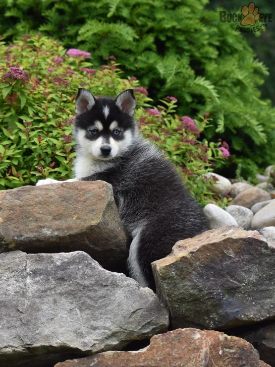 TASHA – POMSKY PUPPY FOR SALE IN DANVILLE, OH