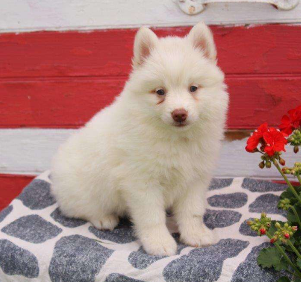 Teresa – POMSKY PUPPY FROM Gap, PA