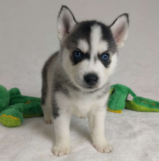TIMON – POMSKY PUPPY FROM  Chowchilla, CA