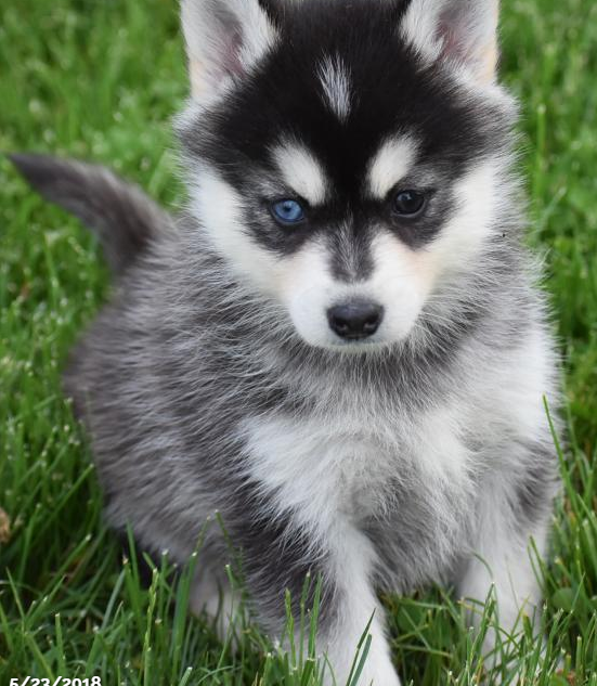 ZANDER – POMSKY PUPPY FOR SALE IN DANVILLE, OH