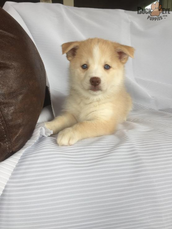 MERCEDES – POMSKY PUPPY FOR SALE IN MILLERSBURG, OH