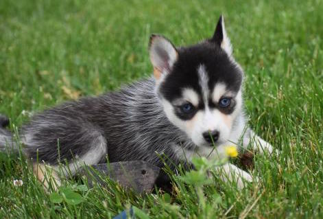 POPPY – POMSKY PUPPY FOR SALE IN DANVILLE, OH