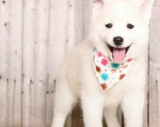 SNOWY – POMSKY PUPPY FOR SALE IN MOUNT VERNON, OH